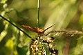 Argynnis paphia (35134605013).jpg