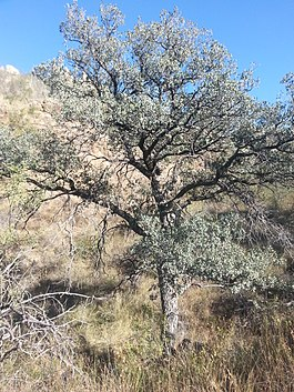 Arizona Blue Oak.jpg