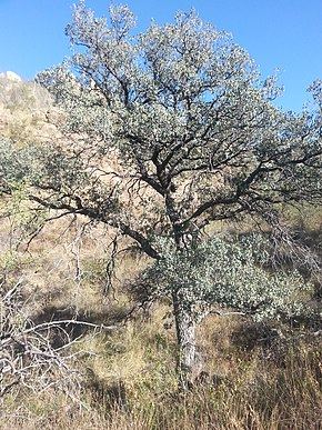 Description de l'image Arizona Blue Oak.jpg.