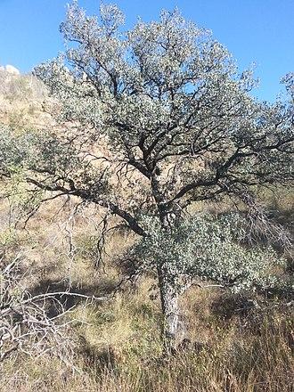 Quercus oblongifolia - Image: Arizona Blue Oak