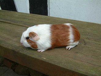 Cuy cobaye wikip dia - Photo de cochon a imprimer ...