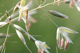 Arrhenatherum elatius - Image: Arrhenaterum elatius flowers