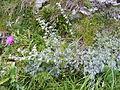 Artemisia nitida DSCF4716.JPG