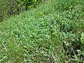 Artemisia pancicii sl21.jpg