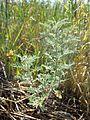 Artemisia pontica sl1.jpg