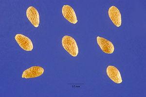 Artemisia annua - Seeds
