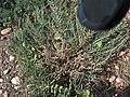 Arthrocnemum glaucum g2.jpg