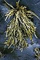 Ascophyllum nodosum 115627425.jpg