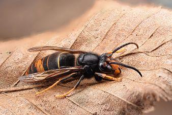 Asian hornet (33965402201) (2).jpg