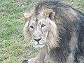 Asiatic Lion 04.jpg