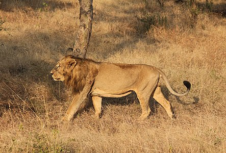 Asiatic lion (Panthera leo persica) in Gir Forest National Park, India