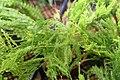 Asparagus setaceus 3zz.jpg