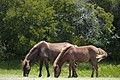 Assateague Island horses August 2009 1.jpg