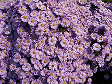 https://upload.wikimedia.org/wikipedia/commons/thumb/1/18/Aster_amellus_a1.jpg/220px-Aster_amellus_a1.jpg