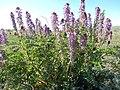 Astragalus bisulcatus (26977225294).jpg