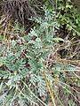 Astragalus vesicarius subsp. vesicarius sl10.jpg