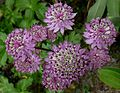 Astrantia major 'Star of Beauty' J1.jpg