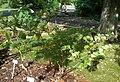 Atropa belladonna (Tollkirsche)-2.JPG