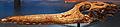 August 1, 2012 - Elosuchus cherifiensis Skull on Display at the Royal Ontario Museum (ROM 52686).jpg