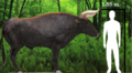 Aurochs-morphology1,1.png