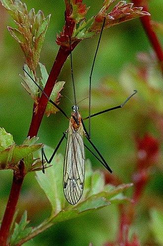 Austrolimnophila ochracea - Image: Austrolimnophila.och racea