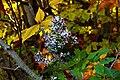 Autumn-flowers-foliage-leaves - West Virginia - ForestWander.jpg