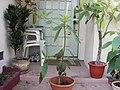 Avocado tree grows new.JPG