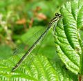 Azure Bluet. Female. Green form.Coenagrion puella. - Flickr - gailhampshire (1).jpg