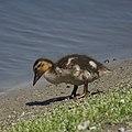 Baby Duck (8702390007).jpg