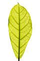 Backlit ficus elastica leaf texture 2014 01.jpg