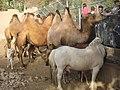 Bactrian camel - ബാക്ട്രിയൻ ഒട്ടകം 03.JPG