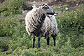 Badgerface ewe, Wales.jpg