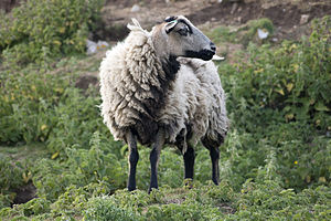 Sheep farming in Wales - A Badger Face Welsh Mountain ewe on Flat Holm