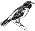 Baltimore oriole (PSF).png