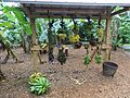 Bananas and plaintains Fruit and Spice Park Homestead Florida.jpg