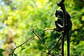 Banded Langur, Presbytis femoralis robinsoni in Kaeng Krachan national park (23513852285).jpg