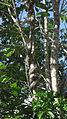 Banisteriopsis nummifera (A.Juss.) B.Gates (6139418485).jpg