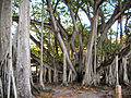 Banyan Tree, Fort Myers.jpg