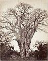 Baobab à Mohéli MET DP144488.jpg