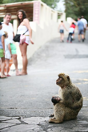 The semi-wild Barbary macaques are an integral feature in Gibraltar's tourism. Barbary macaque and tourists.jpg
