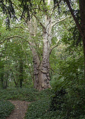 Barn Elms - The Barn Elms London Plane tree known as 'Barney', one of the Great Trees of London and thought to be the oldest example of the species in London