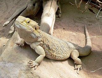 Romeriida - Central bearded dragon (Pogona vitticeps)