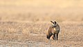 Bat-eared fox, Otocyon megalotis, at Kgalagadi Transfrontier Park, Northern Cape, South Africa (34905059111).jpg