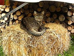 Un chat de gouttière tabby, la robe typique du chat sauvage