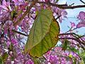 Bauhinia variegata, Parque de la Alegría, Málaga (01).jpg