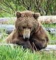 Bear Alaska.jpg