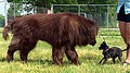 Bear the brown Newfoundland dog meets Sparkle the chihuahua mix.jpg