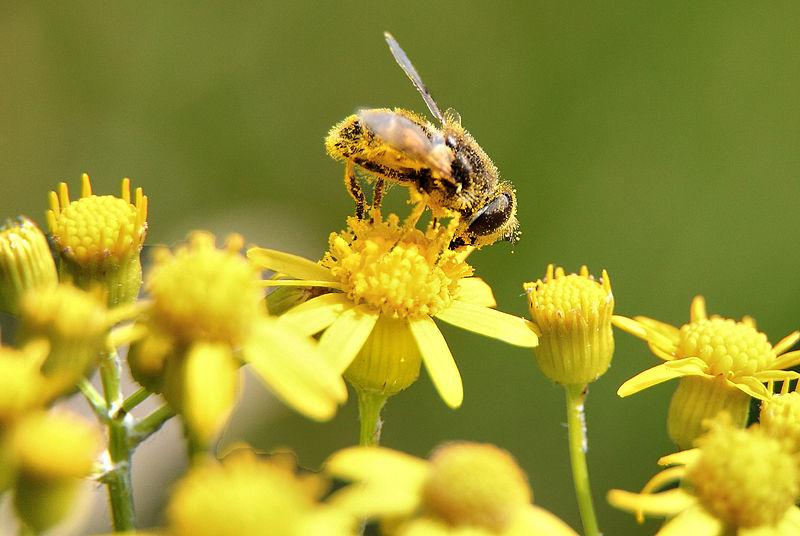 Datei:Bee-pollen-macro - Virginia - ForestWander.jpg