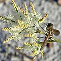 Bee Fly on October Flower (6176383410).jpg