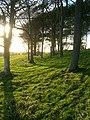 Beech Trees, Chanctonbury Ring - geograph.org.uk - 991340.jpg